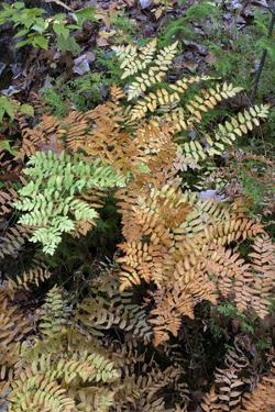 USA, Maine. Royal Ferns (Osmunda regalis) growing along Duck Brook, Acadia National Park. by Judith Zimmerman