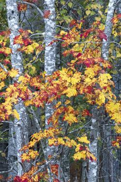 USA, Maine. Sugar Maple, Sieur de Monts, Acadia National Park. by Judith Zimmerman