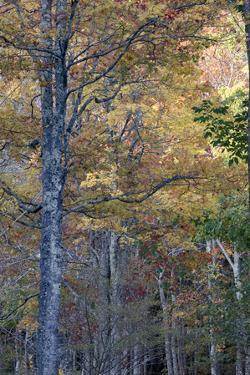 USA, Maine. Tall autumn forests of Sieur de Monts, Acadia National Park. by Judith Zimmerman