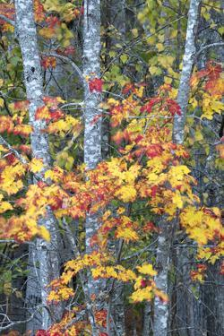 USA, Maine. Vibrant colors of the Sugar Maple, Sieur de Monts, Acadia National Park. by Judith Zimmerman