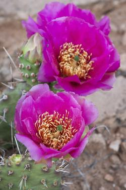 USA, Utah. Beaver Tail cactus blooms, Arches National Park. by Judith Zimmerman