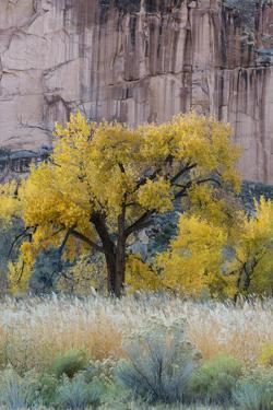 USA, Utah. Sandstone cliff face and autumn cottonwood trees, Capital Reef National Park. by Judith Zimmerman