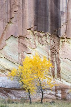 USA, Utah. Young cottonwood and textured canyon wall, Capitol Reef National Park. by Judith Zimmerman