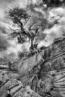 Utah. Black and White Image of Desert Juniper Tree Growing Out of a Canyon Wall, Cedar Mesa by Judith Zimmerman