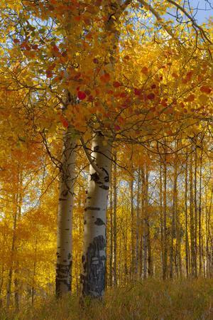 Wyoming, Grand Teton National Park. Autumn Aspen