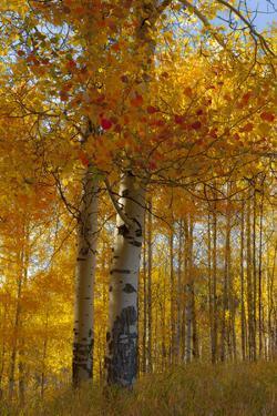 Wyoming, Grand Teton National Park. Autumn Aspen by Judith Zimmerman