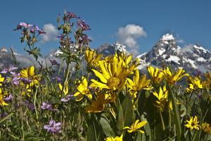 Wyoming, Grand Teton National Park. Mule's Ear and Sticky Geranium by Judith Zimmerman