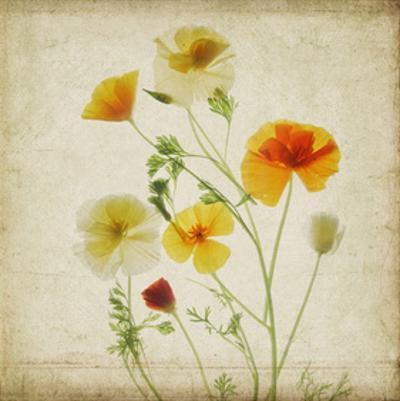California Poppy Garden I by Judy Stalus