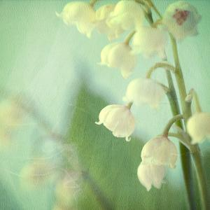 Lily of the Valley by Judy Stalus
