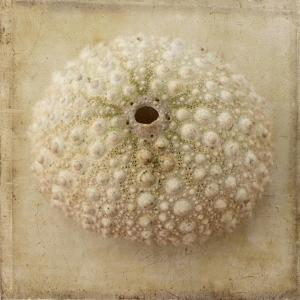 Sepia Shell II by Judy Stalus