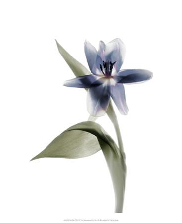 Xray Tulip VII by Judy Stalus