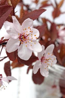 Cherry Blossoms by Jule Leibnitz