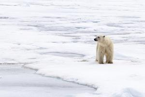 Polar Bear (Ursus maritimus) adult, standing on pack ice, Murchisonfjorden, Svalbard by Jules Cox