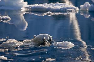 Polar Bear (Ursus maritimus) adult, swimming amongst melting ice, Austfonna, Nordaustlandet by Jules Cox