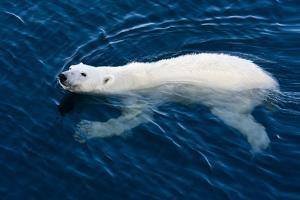 Polar Bear (Ursus maritimus) adult, swimming in open sea, Austfonna, Nordaustlandet by Jules Cox