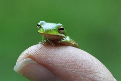 Amphibian Small Green Tree Frog in Alabama by Julia Bartosh