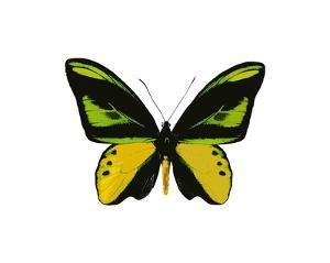 Vibrant Butterfly VII by Julia Bosco