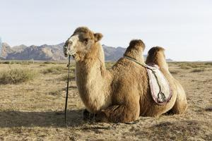 A camel in Khogno Khan National Park, Mongolia, Central Asia by Julian Elliott