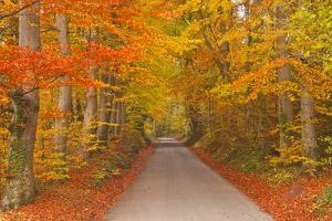 Autumn Colours in Beech Trees on the Road to Turkdean in the Cotwolds, Gloucestershire, England, UK by Julian Elliott