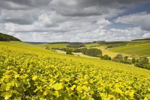 Champagne Vineyards Above the Village of Viviers Sur Artaut by Julian Elliott