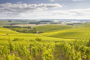 Champagne Vineyards in the Cote Des Bar Area of Aube, Champagne-Ardenne, France, Europe by Julian Elliott