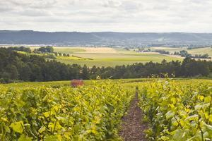 Champagne Vineyards in the Cote Des Bar Area of Aube, Champagne-Ardennes, France, Europe by Julian Elliott