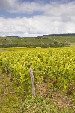 Champagne Vineyards in the Cote Des Bar Area of the Aube Department by Julian Elliott