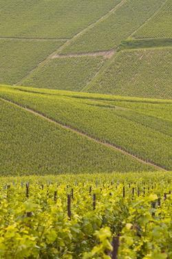 Champagne Vineyards Near to Les Riceys in the Cote Des Bar Area of the Aube Department by Julian Elliott