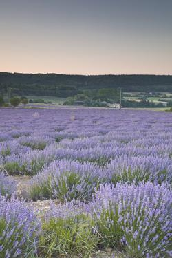 Lavender Fields Near Sault, Vaucluse, Provence, France, Europe by Julian Elliott