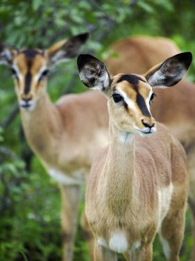 Black Faced Impala in Etosha National Park, Namibia by Julian Love
