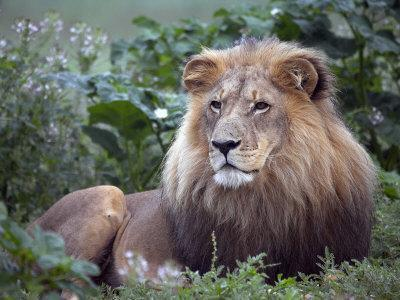 Mature Male Lion at the Africat Foundation in Namibia