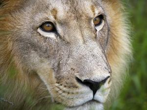 Mature Male Lion at the Africat Foundation in Namibia by Julian Love