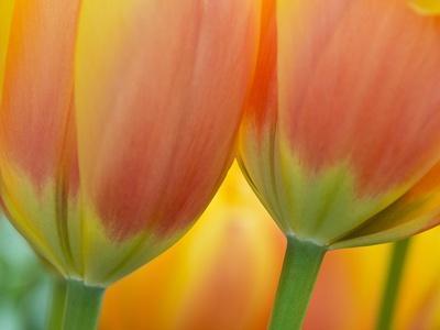 Closeup of Tulip.