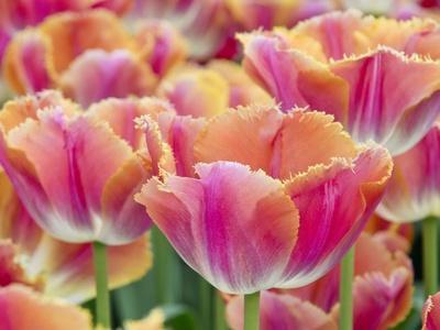 Closeup of Tulipa 'Sunset Miami'.