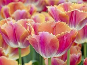 Closeup of Tulipa 'Sunset Miami'. by Julianne Eggers