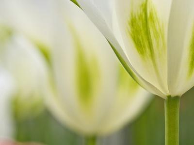 Closeup of Tulips.