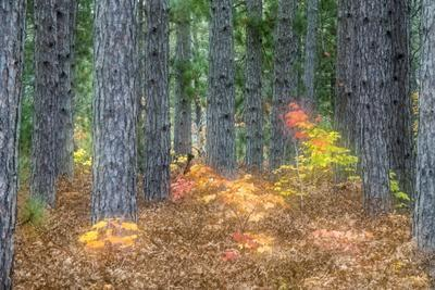 Fall Foliage and Pine Trees in the Forest.