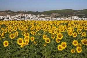 Sunflower Fields near the White Town of Bornos by Julianne Eggers