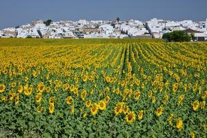 Sunflower Fields near the White Town of Villamartin, Spain by Julianne Eggers