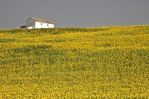 White House above Sunflower Field in Spain by Julianne Eggers