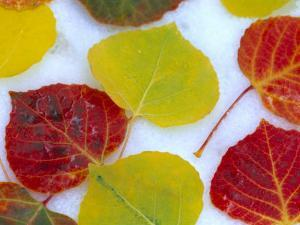 Colorful Aspen Leaves on Snow, Colorado, USA by Julie Eggers