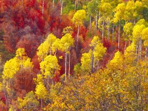 Colorful Aspens in Logan Canyon, Utah, USA by Julie Eggers