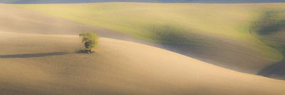 Italy, Tuscany. A lone tree in the Tuscan countryside.