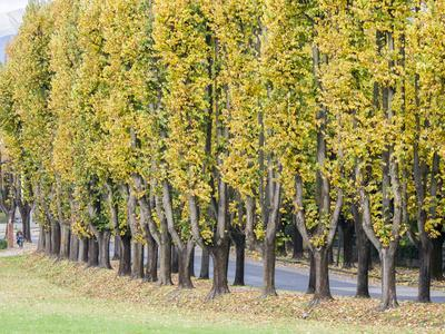 Italy, Tuscany. Autumn foliage in tree lined walkway in the Tuscan town of Lucca.