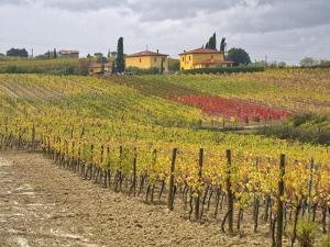 Italy, Tuscany. Colorful vineyard with autumn colors below yellow homes in Tuscany. by Julie Eggers