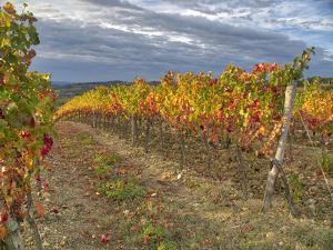 Italy, Tuscany. Colorful vineyards in autumn with blue skies and clouds in the Chianti region by Julie Eggers