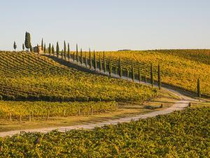 Italy, Tuscany. Road through a vineyard in autumn. by Julie Eggers