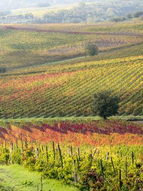 Italy, Tuscany, Val Dorcia. Colorful Vineyards and Olive Trees in Fall by Julie Eggers