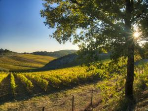 Italy, Tuscany. Vineyard near Radda in Chianti in the fall. by Julie Eggers
