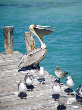 Pelican, Isla Mujeres, Quintana Roo, Mexico by Julie Eggers